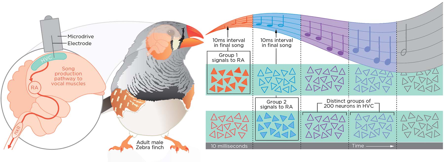Zebra finch love songs – Lucy Reading